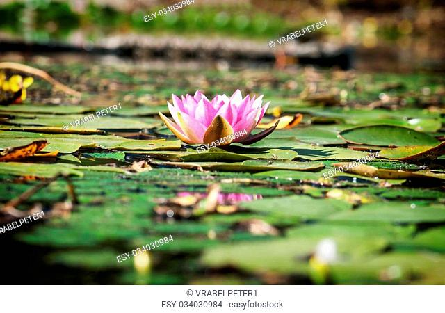 Pink water lily grow in the garden pond