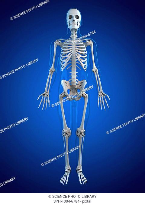 Human skeleton, computer artwork