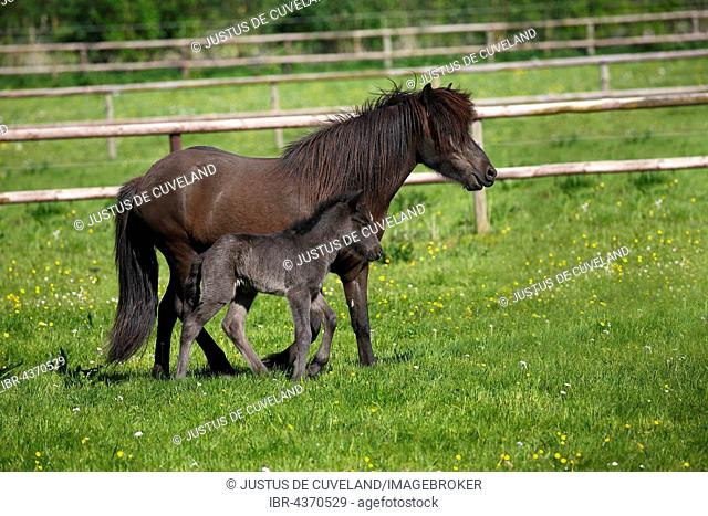 Mare with foal in meadow, Icelandic Horse (Equus przewalskii f. caballus), Lower Saxony, Germany