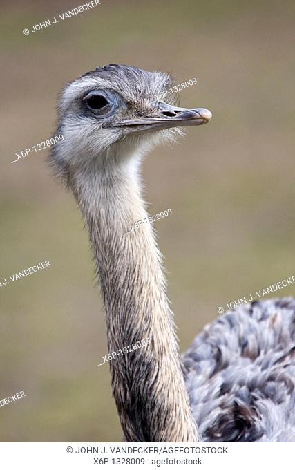 Greater Rhea, Rhea americana, closeup  Bergen County Zoo, Paramus, New Jersey, USA