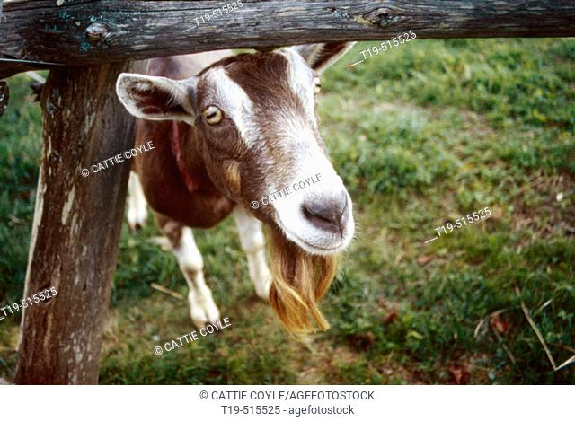 British alpine goats Stock Photos and Images | age fotostock