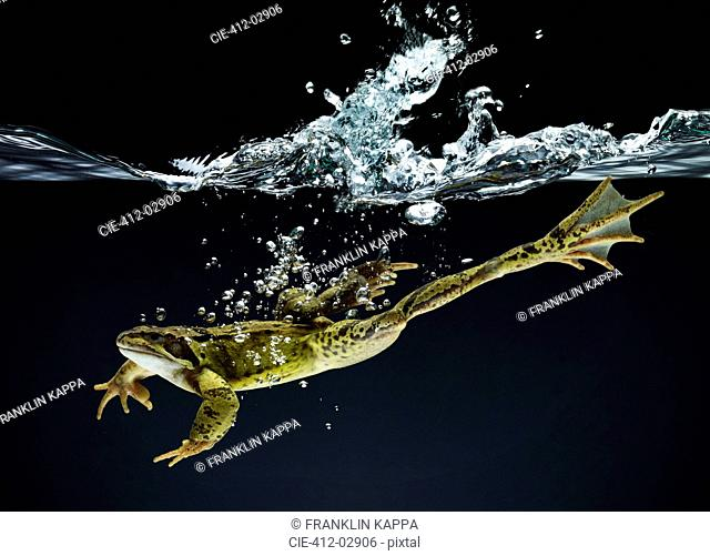 Frog swimming underwater