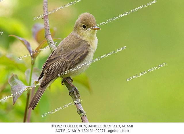 Melodious Warbler, Hippolais polyglotta