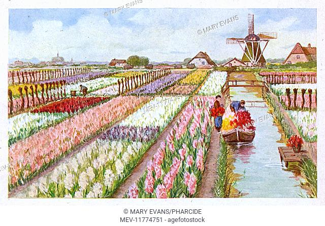 Hyacinth farm with windmill and canal, Netherlands