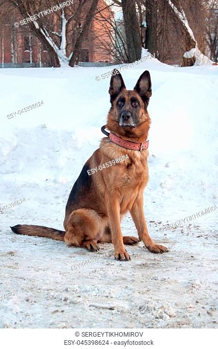 Cute german shepherd dog is sitting on a white snow. Pet animals. Sunny winter day
