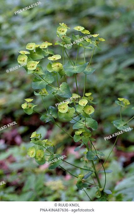 Wood Spurge Euphorbia amygdaloides - Savelsbos, Limburg, The Netherlands, Holland, Europe