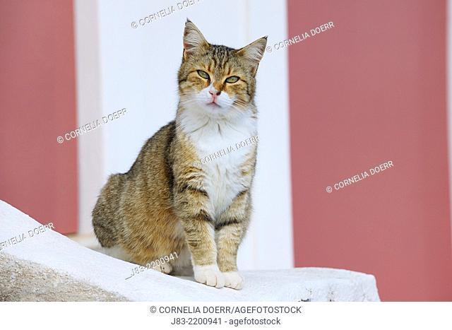 Cat sitting on Wall, Oia village, Santorini, Cyclades Island, Greek Islands, Greece, Europe