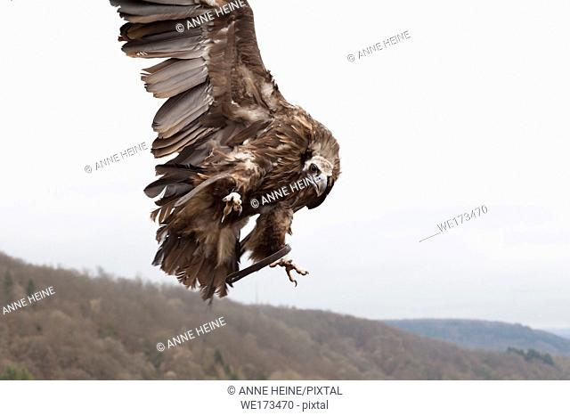 Eurasian black vulture,Aegypius monachus. Held captive in Greifenwarte Burg Guttenberg, Germany