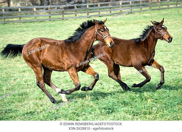 Two horses running side by side inside a fenced area on a farm in Maryland
