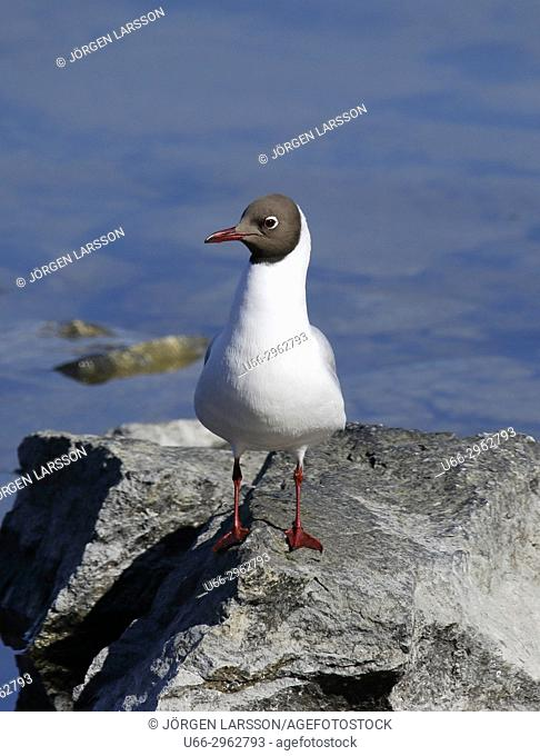Black-Headed Gull, Stockholm, Sweden