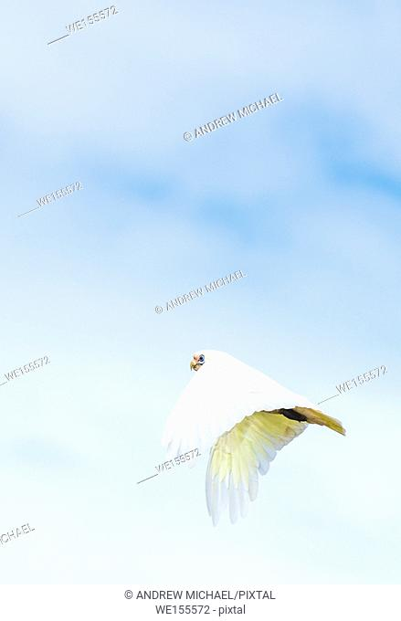 Goffin Cockatoo in flight over Byron Bay