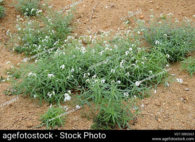 Heliotrpium steudneri is a perennial plant native to eastern and southern Africa. This photo was taken in Ethiopia