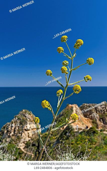 Giant fennel, Ferula communis, spring, Rocky Algarve, Portugal, Europe