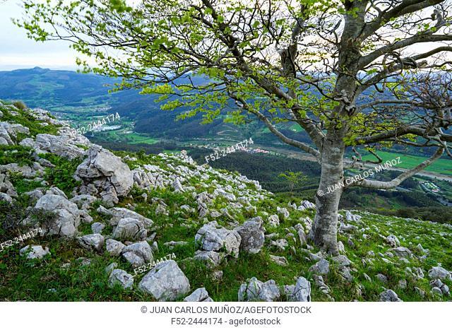 Beech forest, Cerredo mountain, Castro Urdiales, Cantabria, Spain, Europe