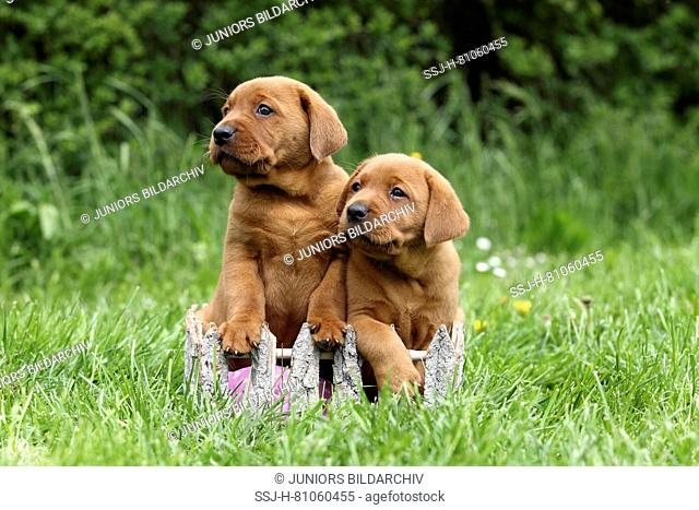 Labrador Retriever. Two puppies (6 weeks old) sitting on a meadow. Germany