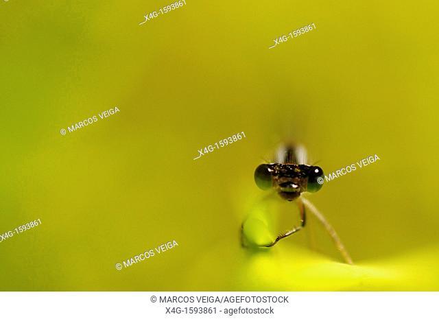Portrait of an Iberian Bluetail Ischnura graellsii