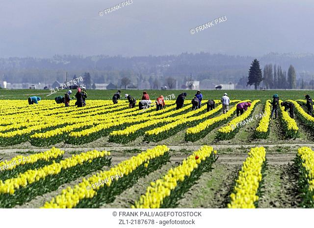Foreign farm workers pick Tulips in La Conner Washington USA