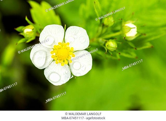 Wild strawberry, blossom