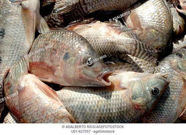 Blue tilapia (Oreochromis Aureus)./ Mojarra o tilapia azul. La tilapia azul (oreochromis aureus) es una de  las especies mayormente introducidas en america como...