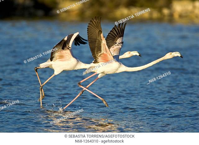 Two Greater Flamingos Phoenicopterus ruber running to take off at PN Ses Salines, Eivissa, Spain