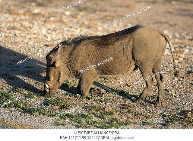 28 November 2019, Namibia, Etosha-Nationalpark: A warthog eats grass in Etosha National Park Photo: Oliver Berg/dpa. - Etosha-Nationalpark/Namibia