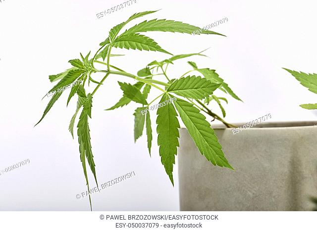 Marijuana and cannabis bush isolated on white background. Close up, studio image. Horizontal