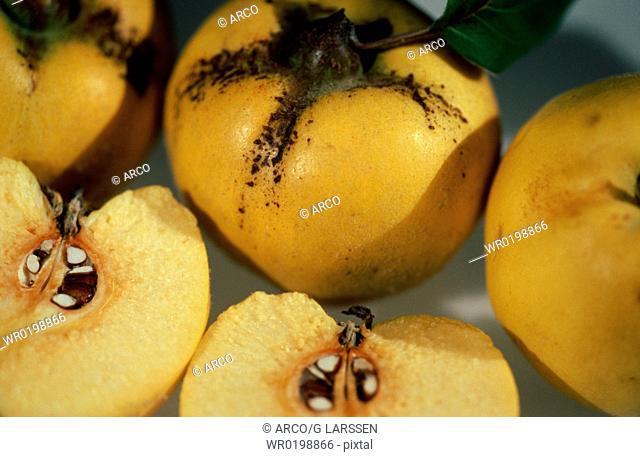 Quinces,Cydonia, vulgaris