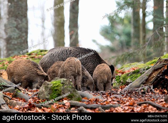 Wild boars in autumn
