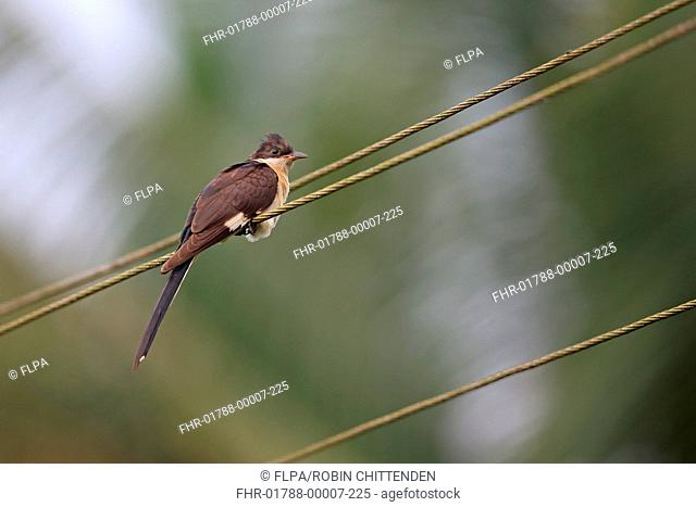 Jacobin Cuckoo (Clamator jacobinus) immature, perched on overhead wire, Goa, India, November
