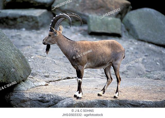 Nubian Ibex, Capra ibex nubiana, Africa, adult male on rock