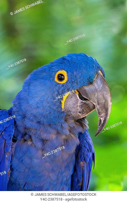 Closeup of single blue Hyacinth Macaw or Hyacinthine Macaw, Anodorhynchus hyacinthinus