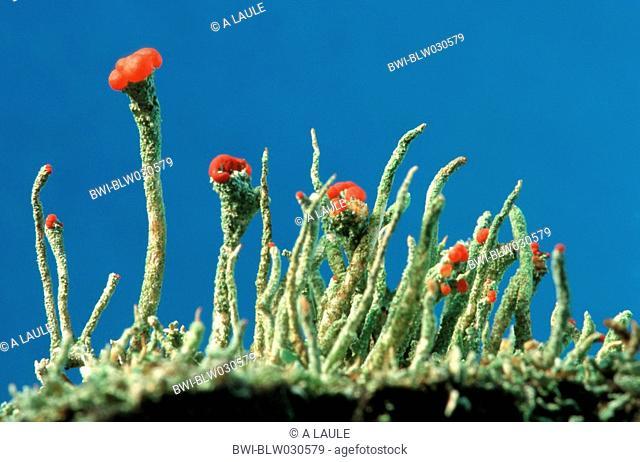 cup lichen Cladonia coccifera, apothecium, Germany, Black Forest
