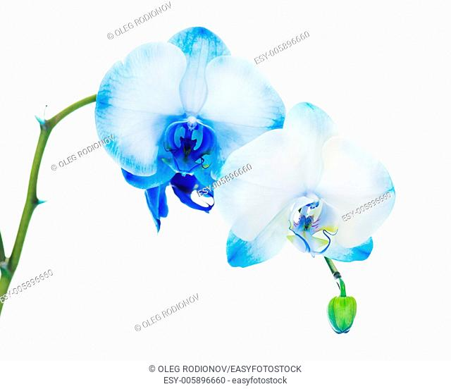 Real blue orchid arrangement centerpiece isolated on white background