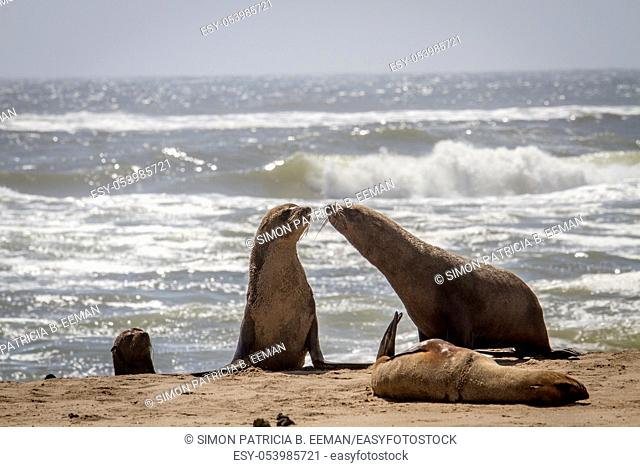 Group of Cape fur seals on the coast of the Namibian Desert, Namibia
