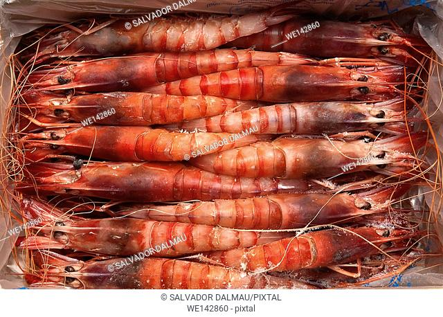 photography studio, creative,selection of shrimp to market,location girona,catalonia,spain,europe,