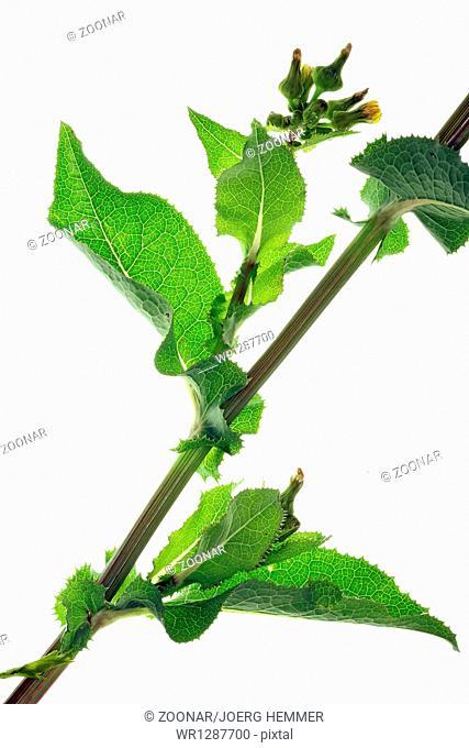 Sharp-fringed Sow Thistle, Sonchus asper