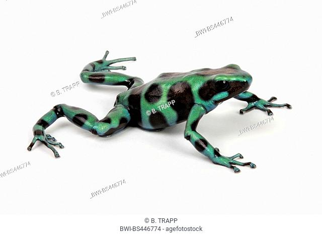 Green and black poison-arrow frog, Green and black poison frog (Dendrobates auratus), in defence posture, cutout
