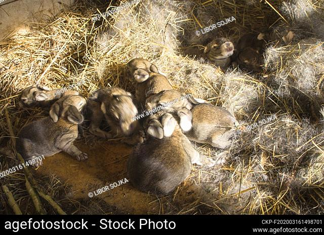 domestic rabbit, straw bedding in hutch, bunny, kit, kitten, four days newborn litter in nest, nestling, nest, eight days old litter, on March 16, 2020