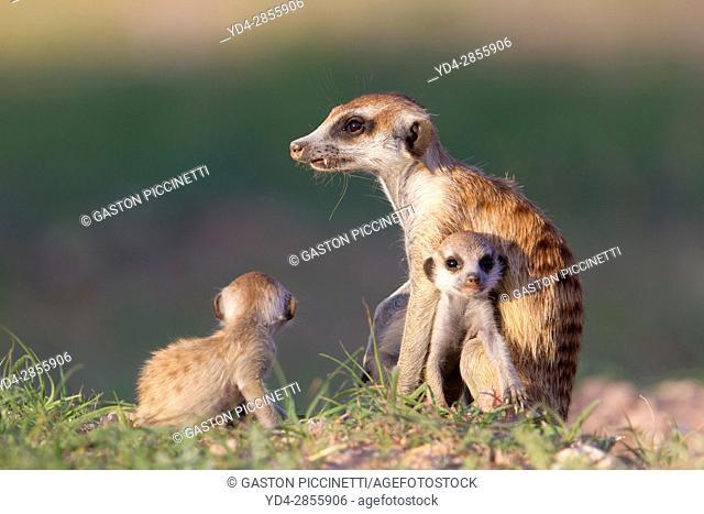 Suricates (Suricata suricatta) - Mother and two youngs, Kgalagadi Transfrontier Park, Kalahari desert, South Africa/Botswana