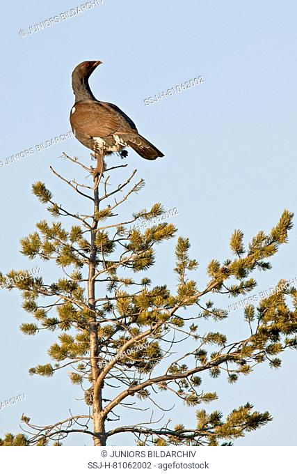 Capercaillie cock (Tetrao urogallus) sitting on the top of a pine