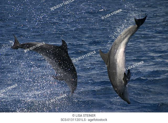 Bottlenose Dolphin, Tursiops truncatus, pair performing acrobatics together in the Azores RR