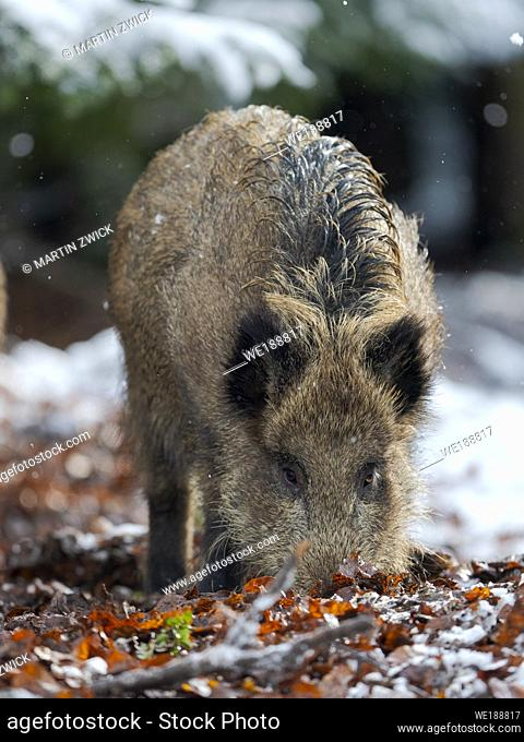 Wild Boar (Eurasian wild pig, Sus scrofa) during winter in high forest. NP Bavarian Forest, enclosure. Europe, Germany, Bavaria