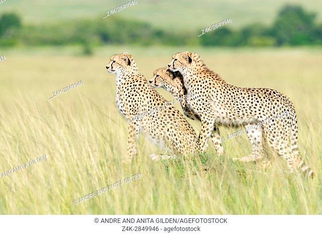 Three Cheetah (Acinonix jubatus) standing on the look out at savanna, Maasai Mara National Reserve, Kenya