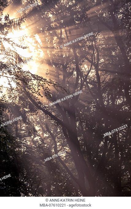 Crepuscular rays on a foggy morning, Belecke, Arnsberger Wald, Sauerland, Germany