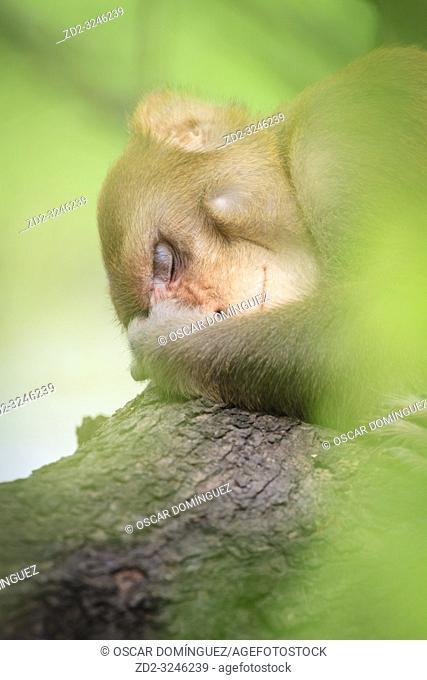 Rhesus Monkey (Macaca mulatta) resting in tree. Keoladeo National Park. Bharatpur. Rajasthan. India