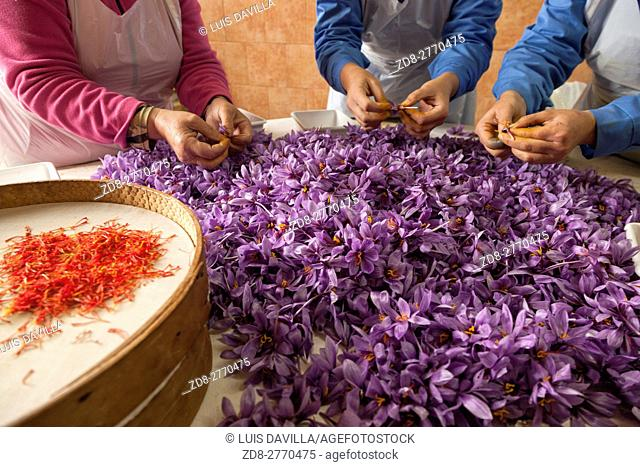 women collecting stigmas from saffron crocus flowers. madridejos. spain. Saffron is the stigma of the crocus flower, which originally came from Asia Minor