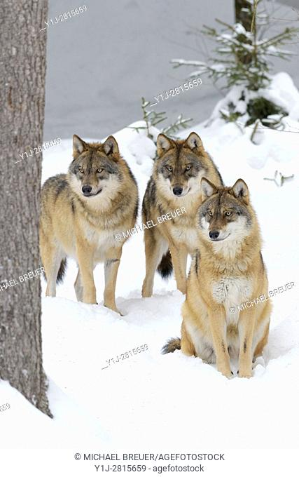 European Wolves in Winter, Canis lupus, Bavarian Forest National Park, Germany, Europe