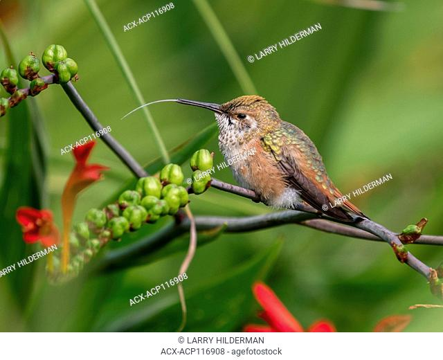 Anna's Hummingbird (Calypte anna) in Stanley Park Vancouver, BC