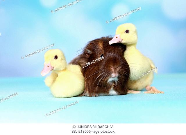Mulard Duck. Two ducklings and long-haired guinea pig sitting next to each other. Studio picture against a blue background. Germany