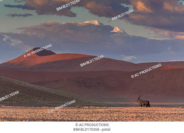 Animal grazing in remote desert landscape